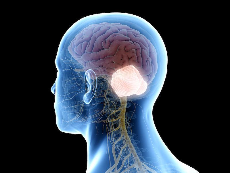 El Cerebelo Juega un Papel Importante en la Evolución del Cerebro Humano